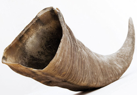 Cattle horn